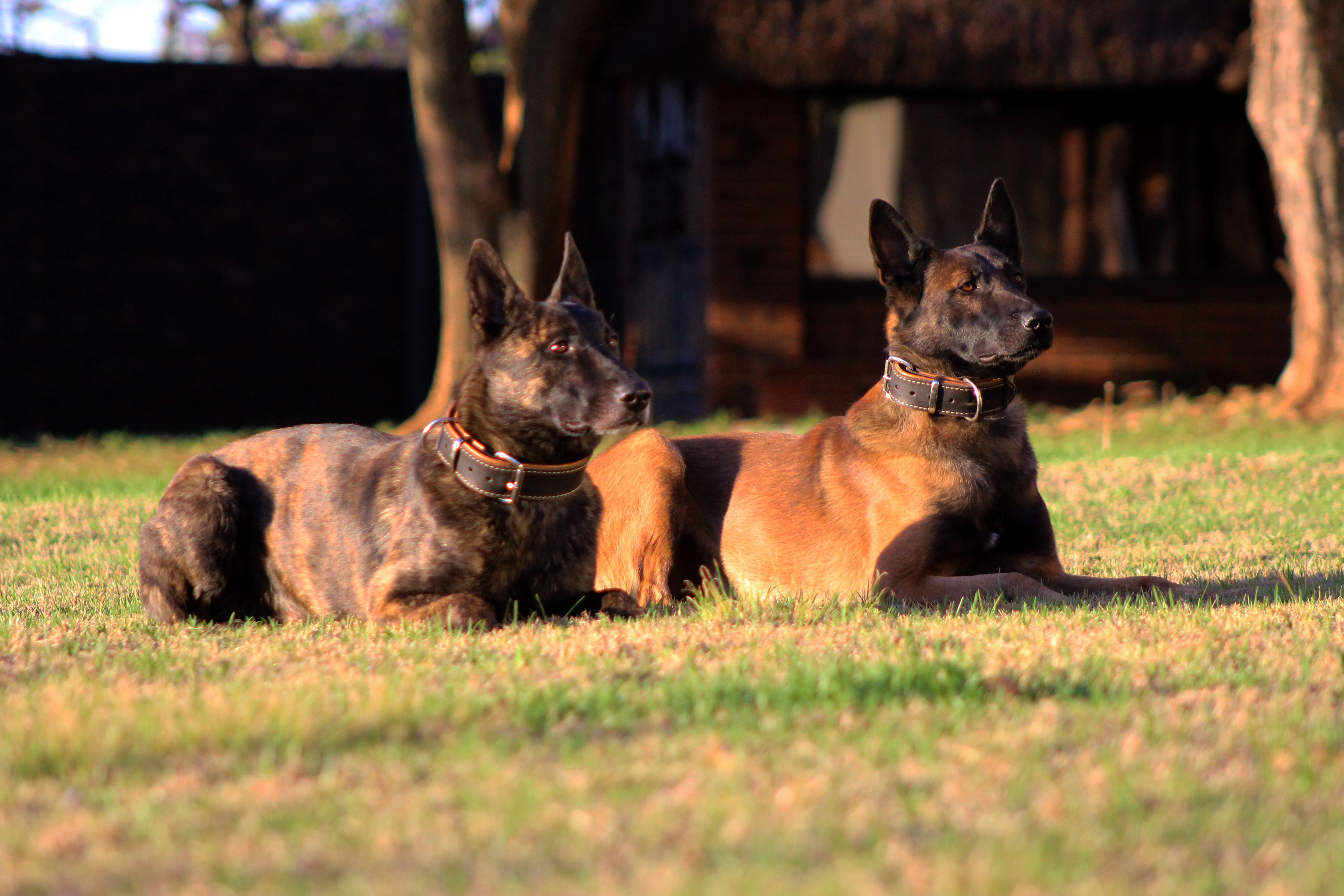 Trained Dogs For Sale Working Dogs Incl Protection