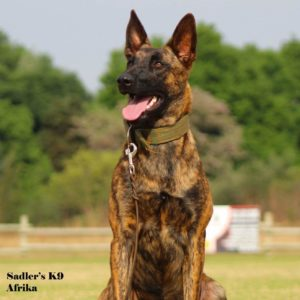Afrika - Dutch Shepherd Female Working Bloodline