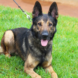 German Shepherd Male - Personal Protection