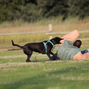 Johannesburg, South Africa - Dutch Shepherd Female Working Dog