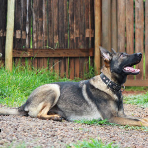 German Shepherd Female personal protection dog breeding and training South Africa