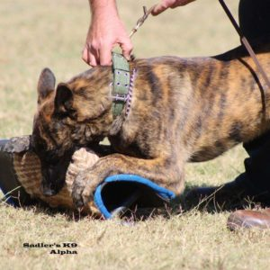 Johannesburg, South Africa, Dutch Shepherd Working Dogs