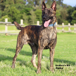 Johannesburg, South Africa, Dutch Shepherd Male Breeding Dogs