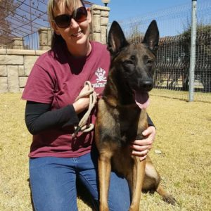 Malinois Male - Strong working dog bloodline in Johannesburg South Africa