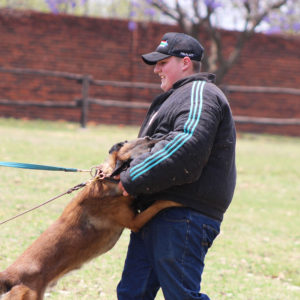 Malinois Male strong working dog bloodline for breedging - Johannesburg South Africa