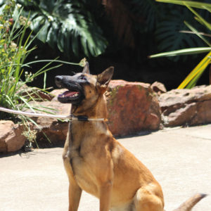 Johannesburg, South Africa - Malinois Female used for breeding working dogs