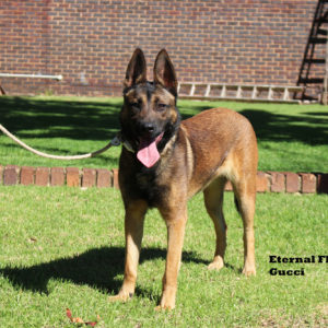 Johannesburg, South Africa - Imported Malinois Female
