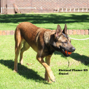 Imported Malinois Female working dog also used for breeding