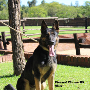 Nilly German Shepherd Female - Personal Protection Dog South Africa