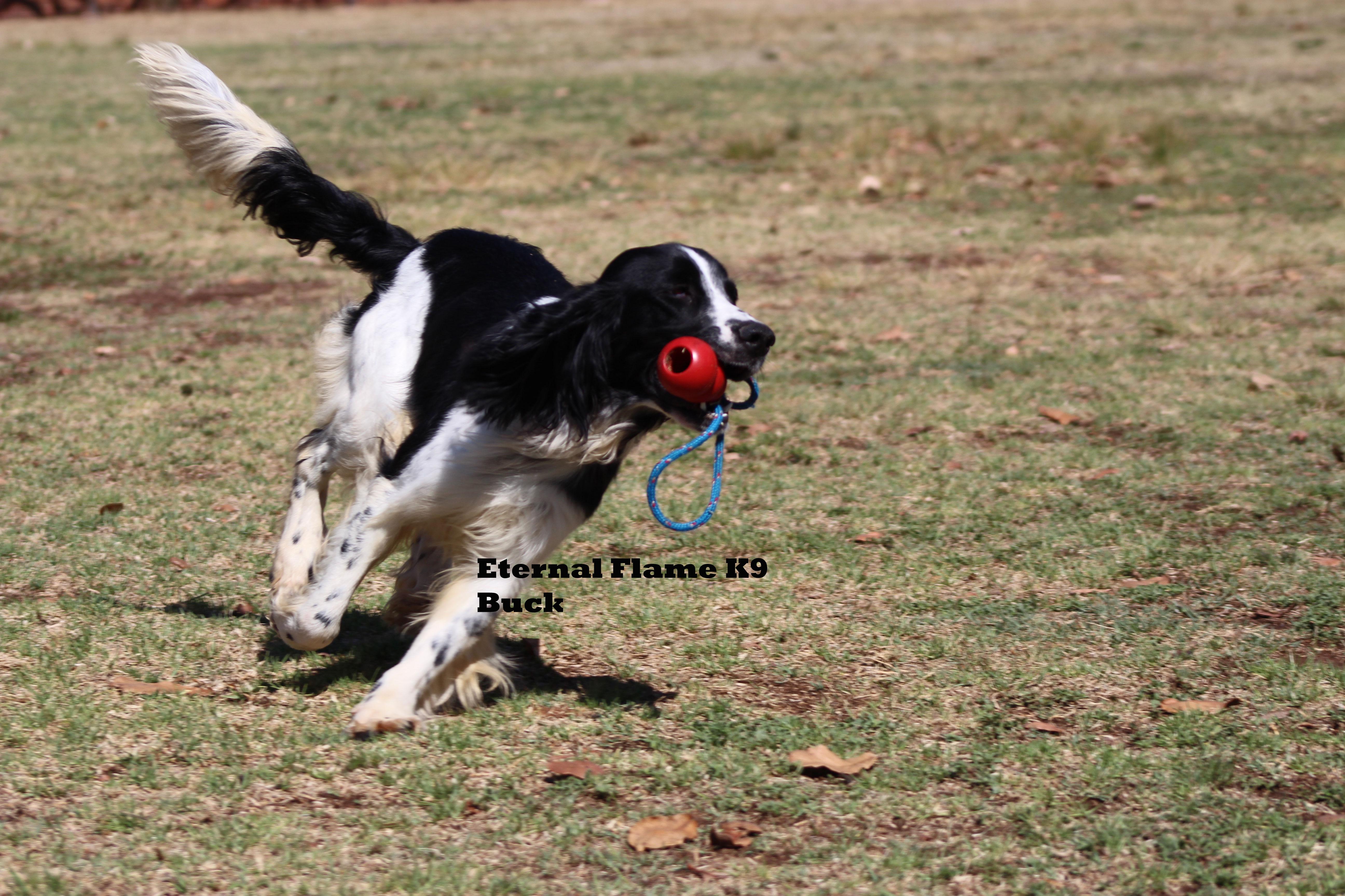 Buck- Springer Spaniel male for sale - Eternal Flame K9